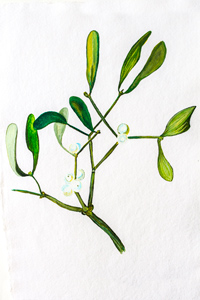 Mistletoe watercolour print